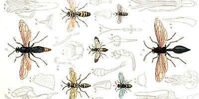 シダクロスズメバチの女王の多回交尾における進化メカニズムの解明