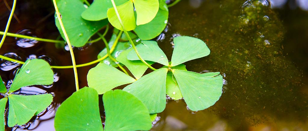 <h1>アクアポリン遺伝子から探るデンジソウの水上葉形成メカニズム</h1>